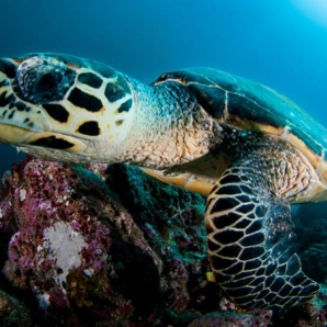 Malediivit_sukellussafari_True_Maldives/green-turtle