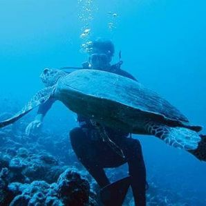 Valtiot/Malediivit/Moofushi-diving-turtle