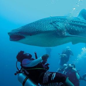 Valtiot/Malediivit/Moofushi-diving-whale-shark